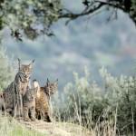Castilla-La Mancha reintroduce sus primeros tres linces